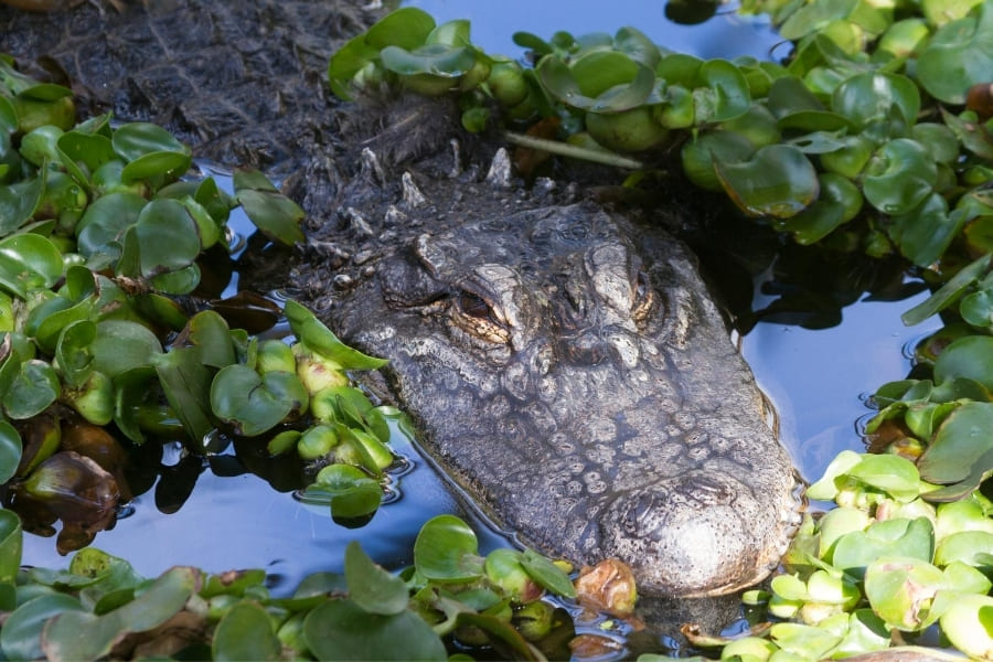 Alligator in the water of Florida