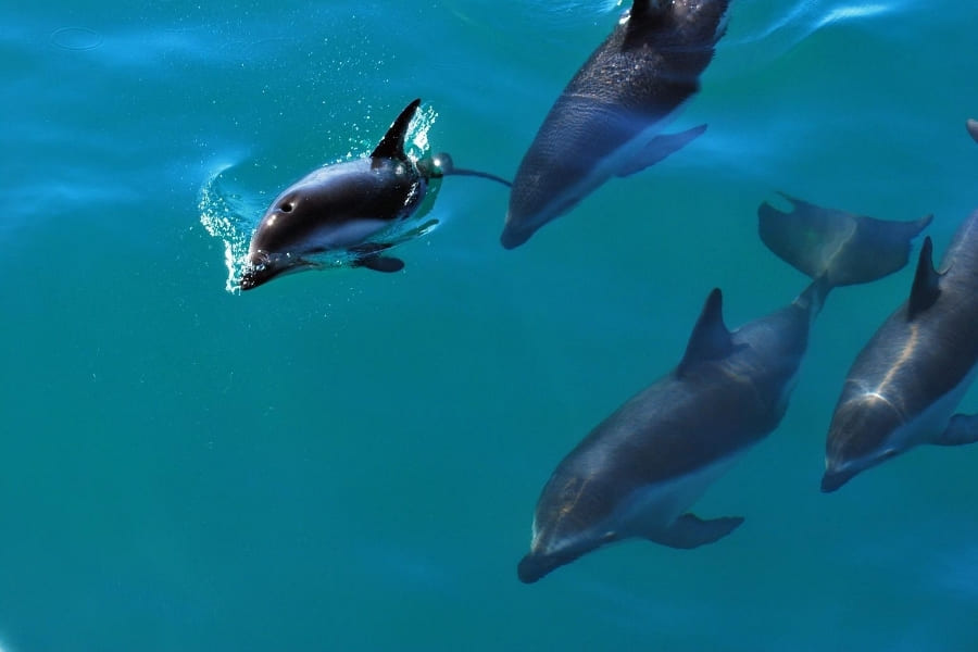 Dolphins in the water of Florida