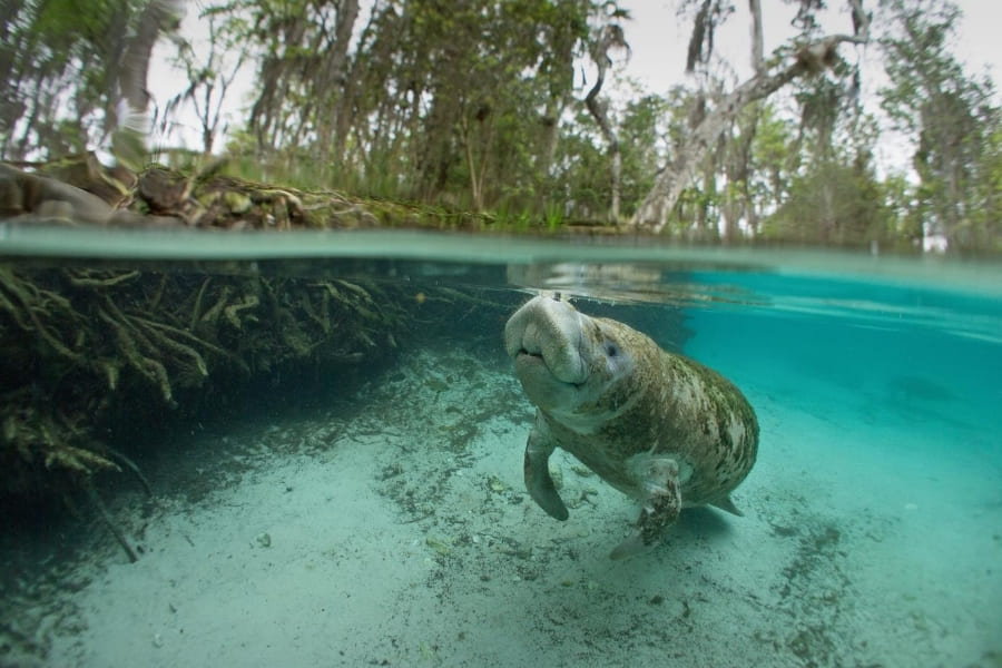 Manatee in the water of Florida