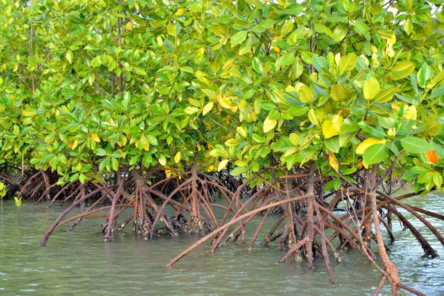 Mangroves in the water of Florida
