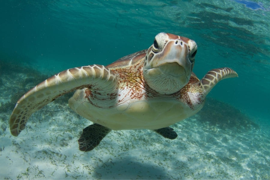 Sea turtle in the water of Florida